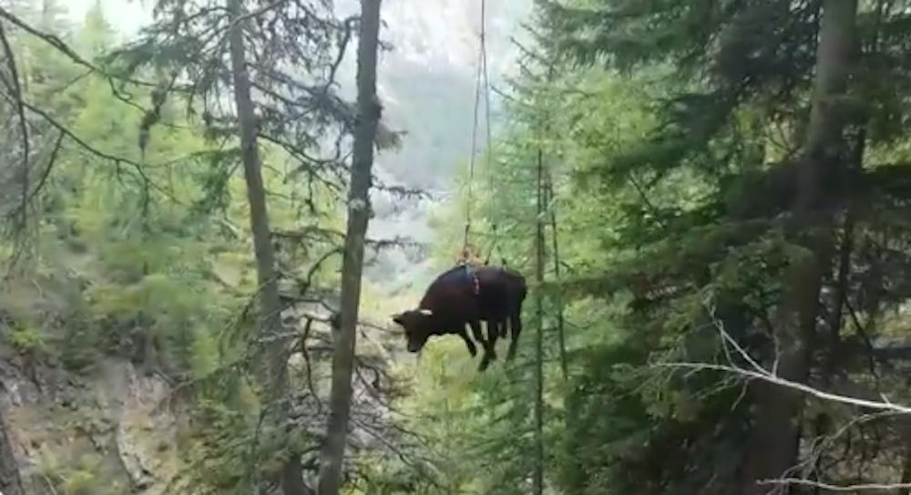 Salvataggio mucca
