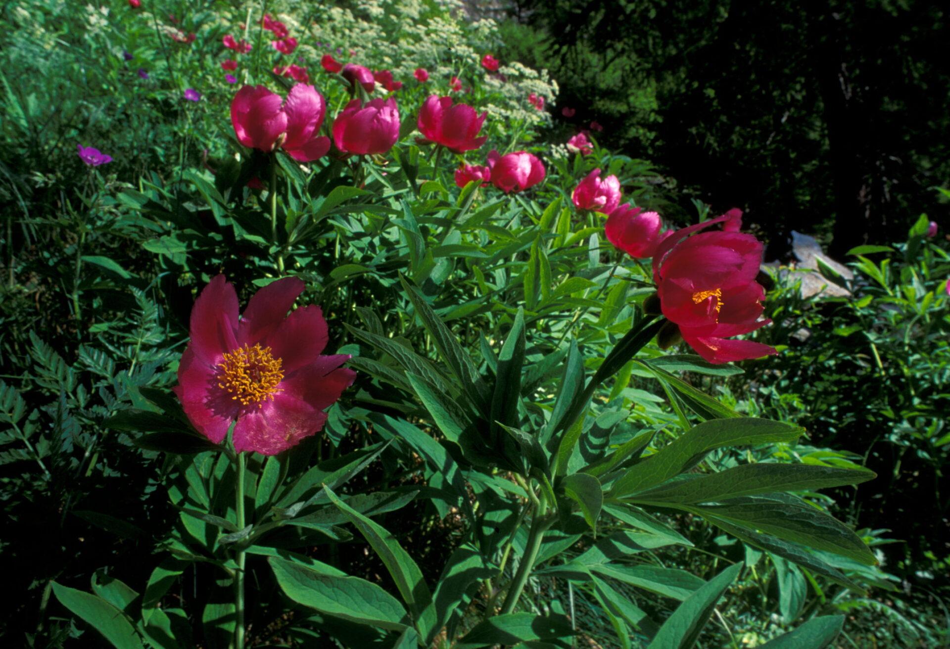 Flora Paeonia officinalis