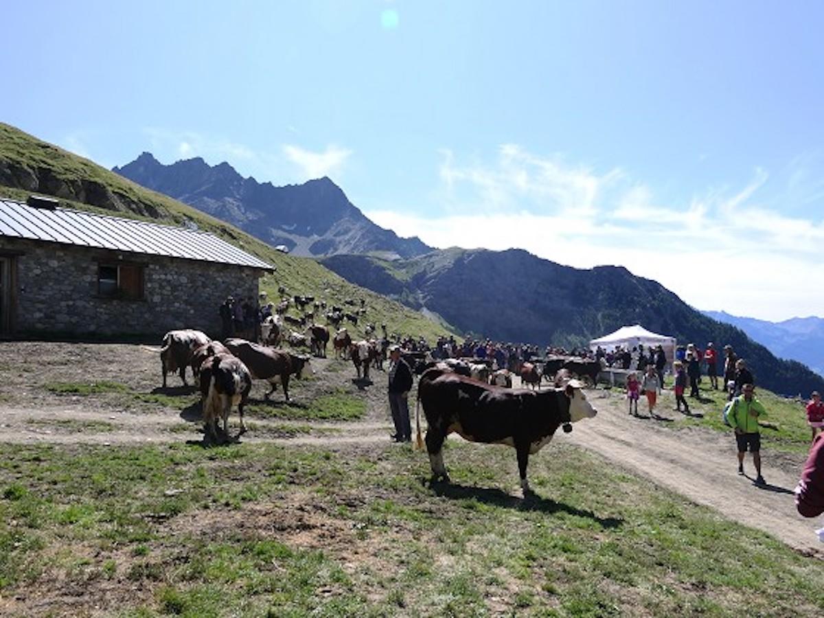 Mucche al pascolo l