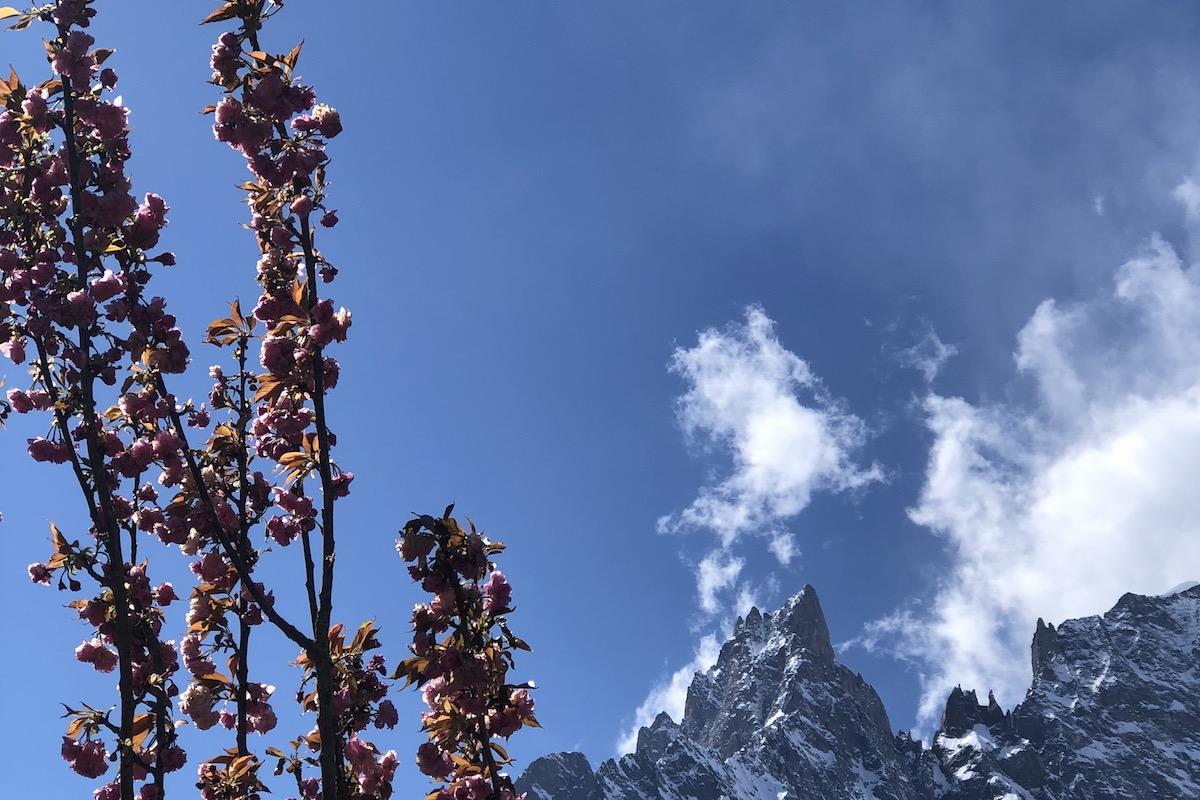 Ciliegio alpino - Monte Bianco