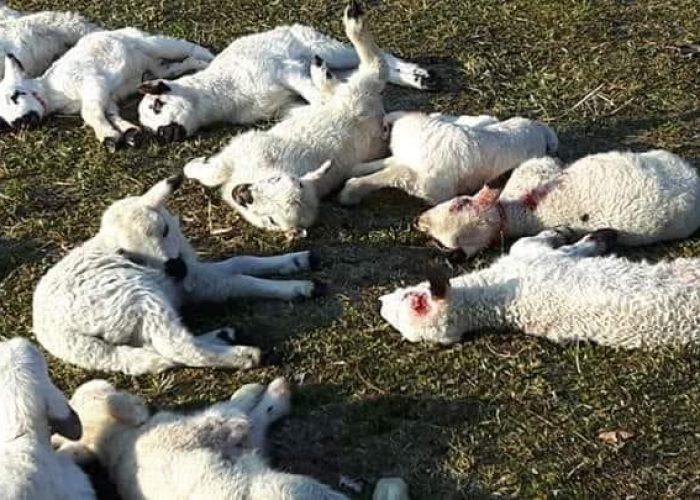 Gli animali uccisi a Issogne