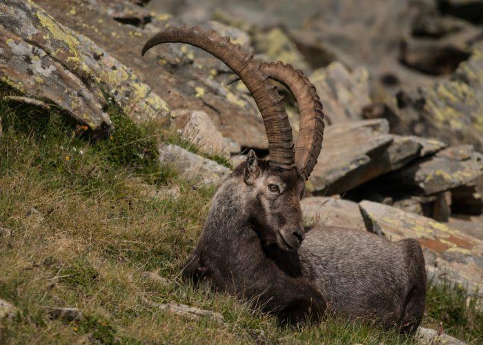 Stambecco al Parco Nazionale Gran Paradiso - foto Davide Glarey